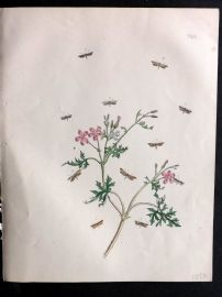 Humphreys & Westwood British Moths 1845 Hand Col Print 122